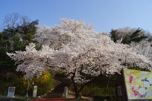 경주엑스포공원벚꽃 경주 엑스포공원 벚꽃은 만개한 상황입니다.