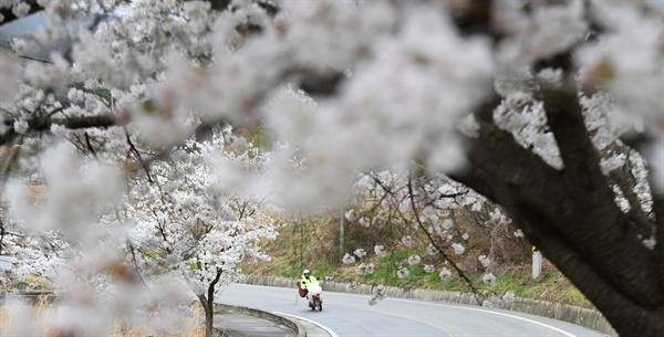 거창 장팔리 벚꽃.