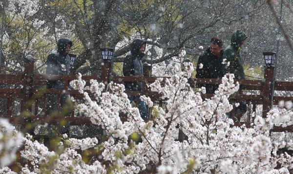 4월 7일 함양 백전면 백전공원의 벚꽃