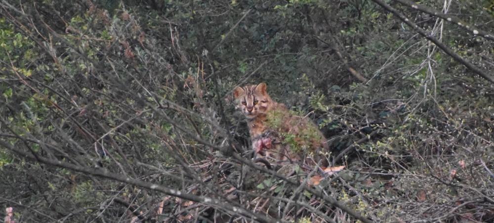 하식애의 7부 능선 부근에서 발견된 멸종위기종 삵의 모습. 삵이 서식할 정도로 하식애의 생태계는 잘 보존되어 있다.