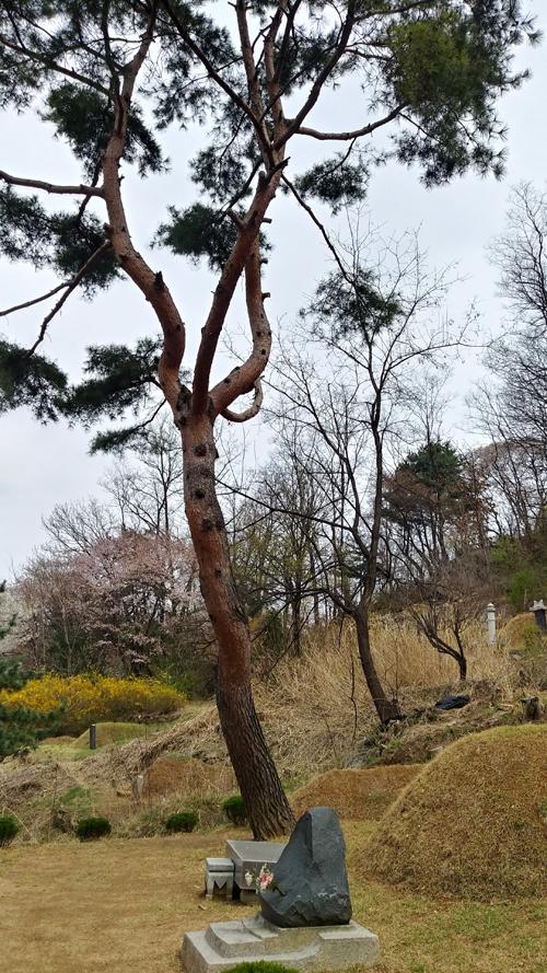 묘 옆 소나무 쭉 뻗은 소나무 한 그루가 그의 곁을 지키고 있다.