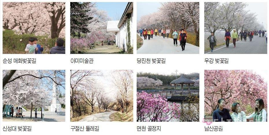 당진 곳곳 벚꽃 풍경들