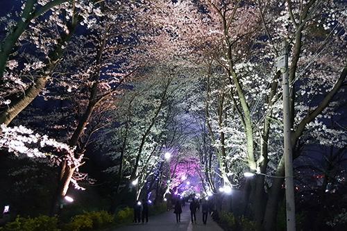 강화 고려궁지에서 북문으로 이어진 벚꽃길