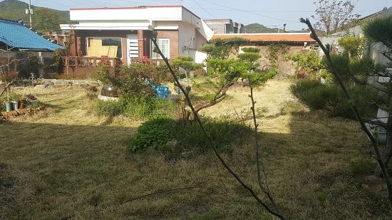 봄날의 고성 고향집 마당 한 가운데 자두나무에도 새 잎으로 무성하고 잔디도 푸른 기운이 완연하다.