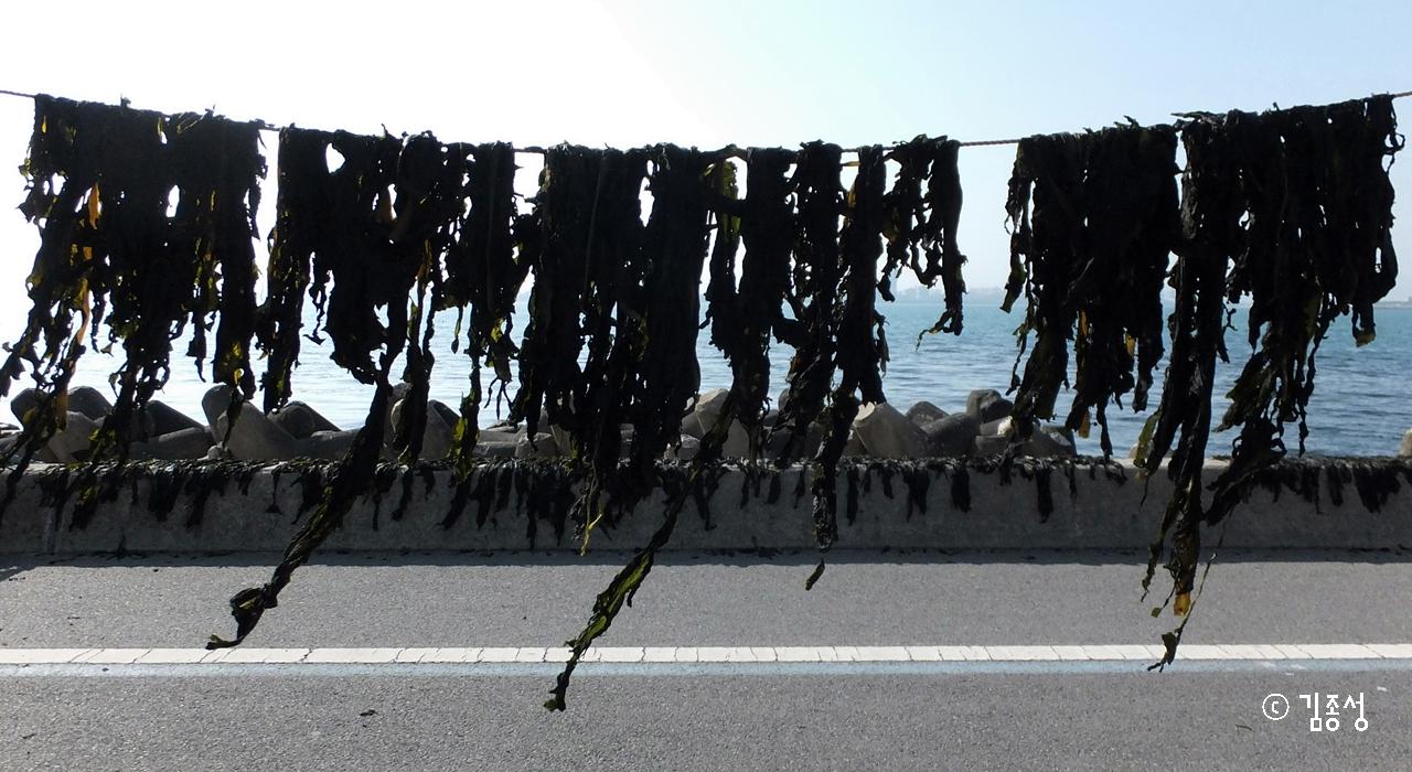 영일대 바닷가에 빨래처럼 널려있는 돌미역.