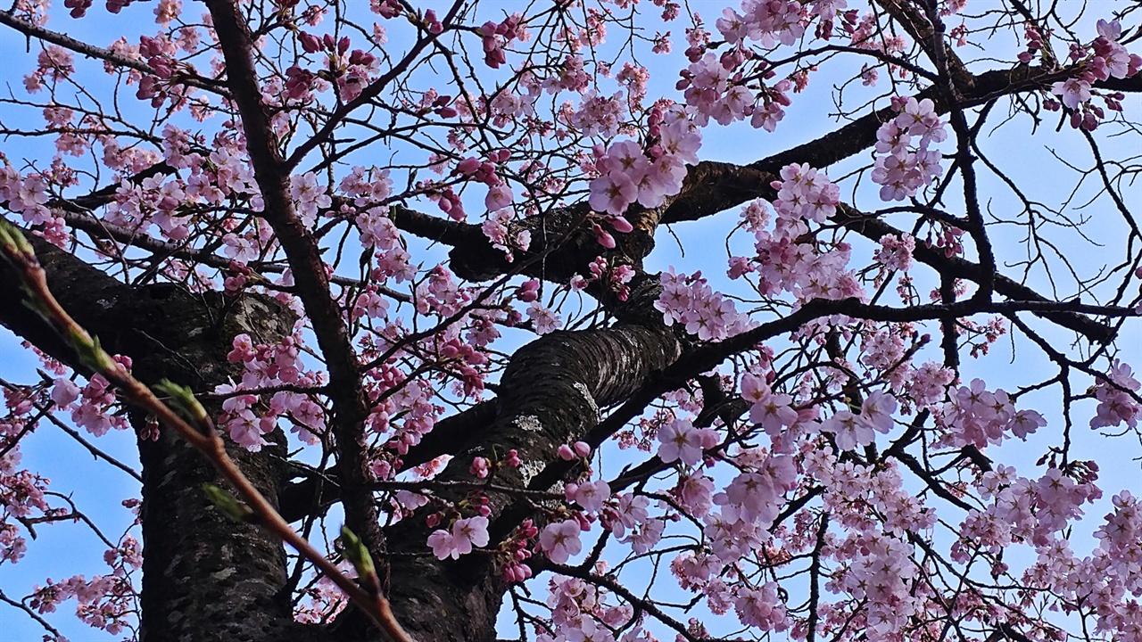 벚꽃 양양은 벚꽃을 3월 하순부터 만난다. 진해군항제가 시작되는 4월 초순 내내 양양군의 남대천 둔치와 현산공원을 시작으로 4월 20일까지 오색마을의 산벚꽃까지 이어진다. 그 뒤로도 5월까지 점차 점봉산과 대청봉으로 올라가며 산벚꽃을 만날 수 있으니 전국에서 가장 오래 벚꽃을 마나는 고장이랄 수 있다.