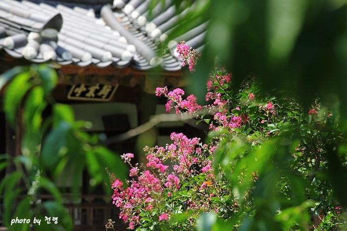 하엽정 배롱나무 하엽정은 붉은 백일홍이 피고 하얀 연꽃이 피어날 때 제격이다.