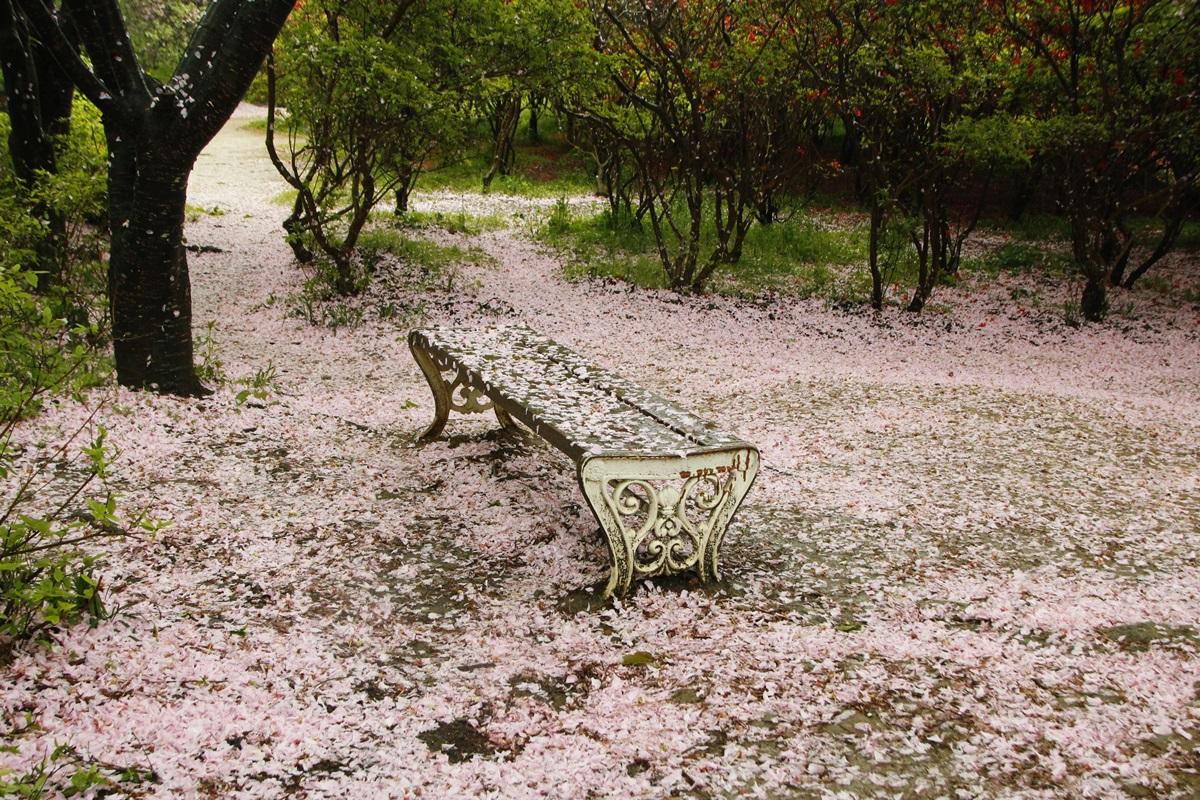 분홍꽃비가 내리다  우리도 언젠가는 꽃비이리라. 저 분홍꽃잎들처럼 떠나는 뒷모습이 아름답기를 바랄 일이다.