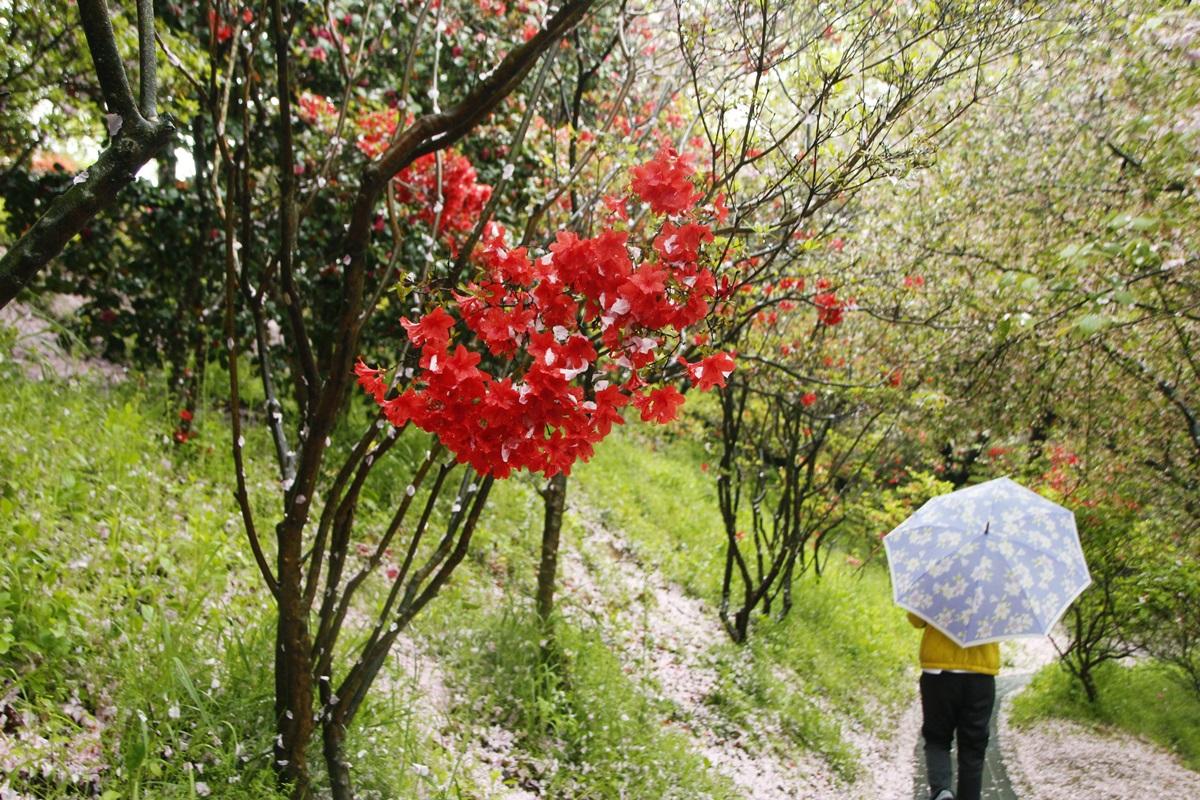 분홍꽃비 내리던 날 큰 형님은 나의 사진 선생님이기도 하다. 비가 와서 우산을 쓰고 서 있다.