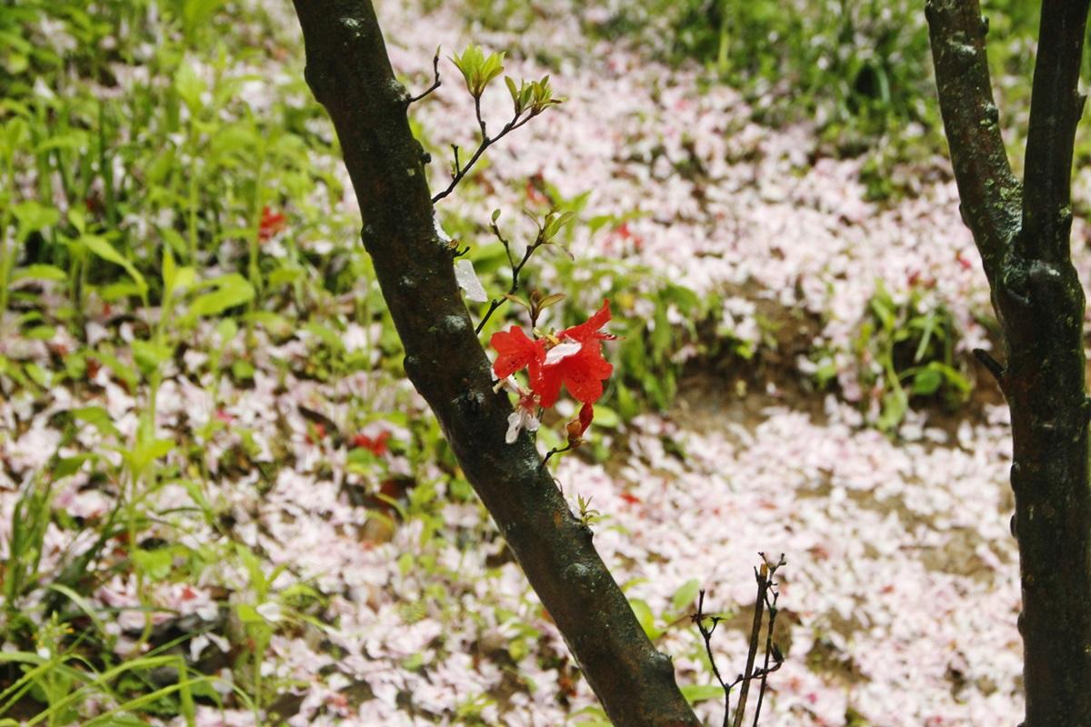 분홍꽃비가 내리던 날 벚꽃이 질 무렵 완산칠봉 꽃동산에 왕겹벚꽃이 피고, 분홍빛 겹벚꽃이 질 즈음 철쭉이 만개한다.