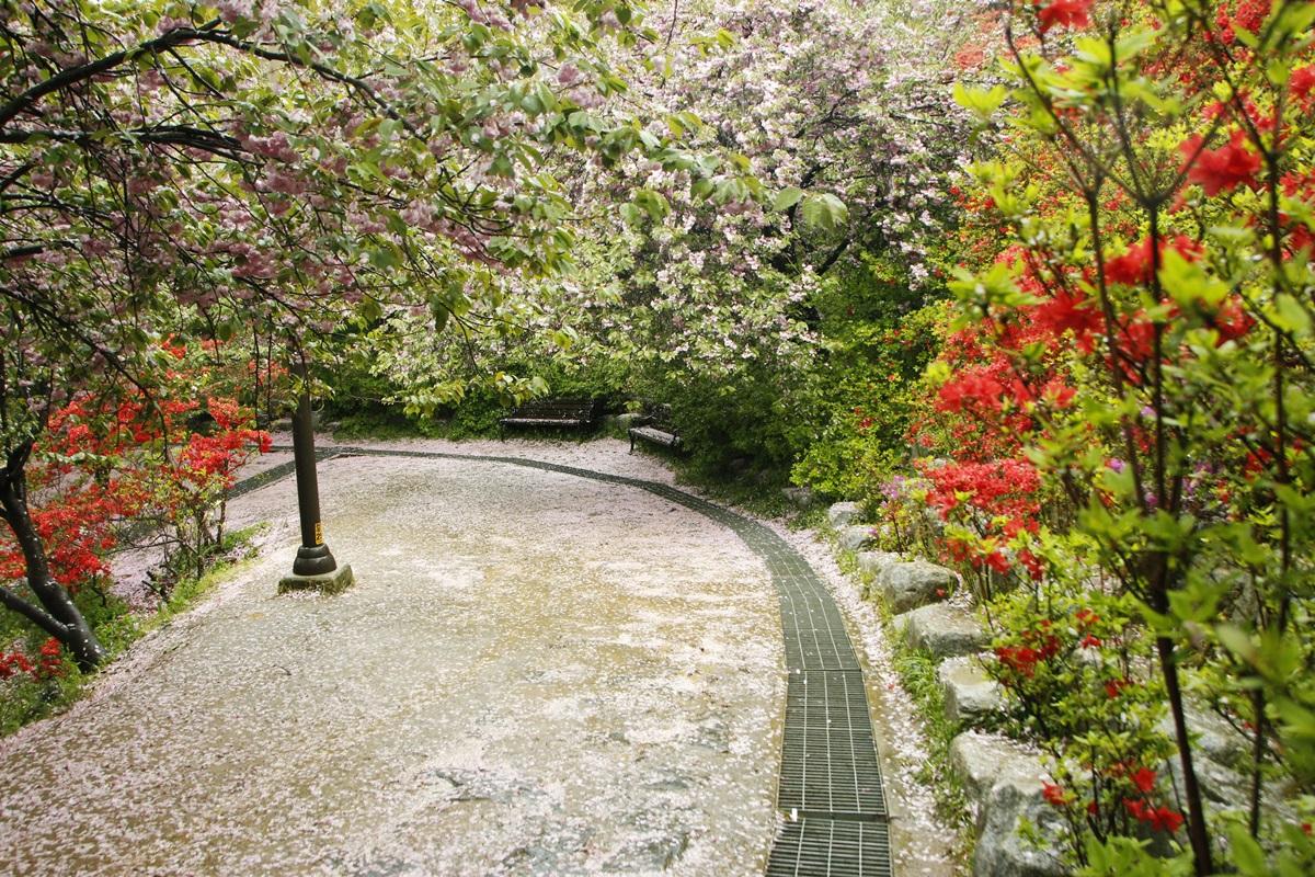 분홍꽃비가 내리다  완산칠봉 꽃동산은 왕겹벚꽃이 질 즈음 철쭉이 만개한다.