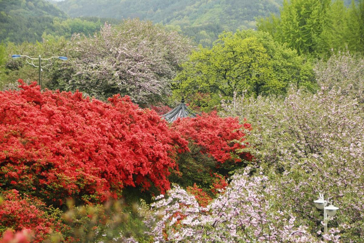 완산칠봉 꽃동산 분홍빛 겹벚꽃은 지고 철쭉은 만개하고