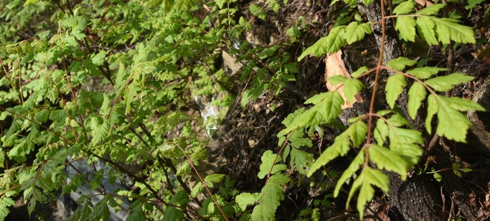 밑둥에서부터 부러뜨러진 채 방치된 희귀식물 자원인 모감주나무. 이에 대해 달성군 담당자는 바람에 의해 부러진 것이란 엉터리 해명을 했다.