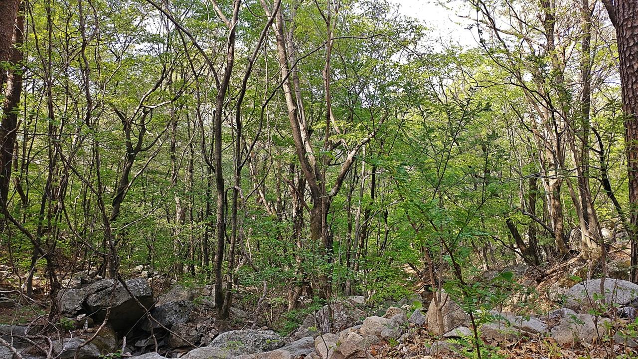 오색리 산빛이 올해는 유난히 일찌감치 연두색이 완연하다. 오색리 일원이 이 정도로 연두색으로 나뭇잎이 피려면 예년엔 열흘 가까이 더 있어야 됐지만 유난히 따뜻한 4월을 보낸 덕에 일찍 나뭇잎들이 폈다.