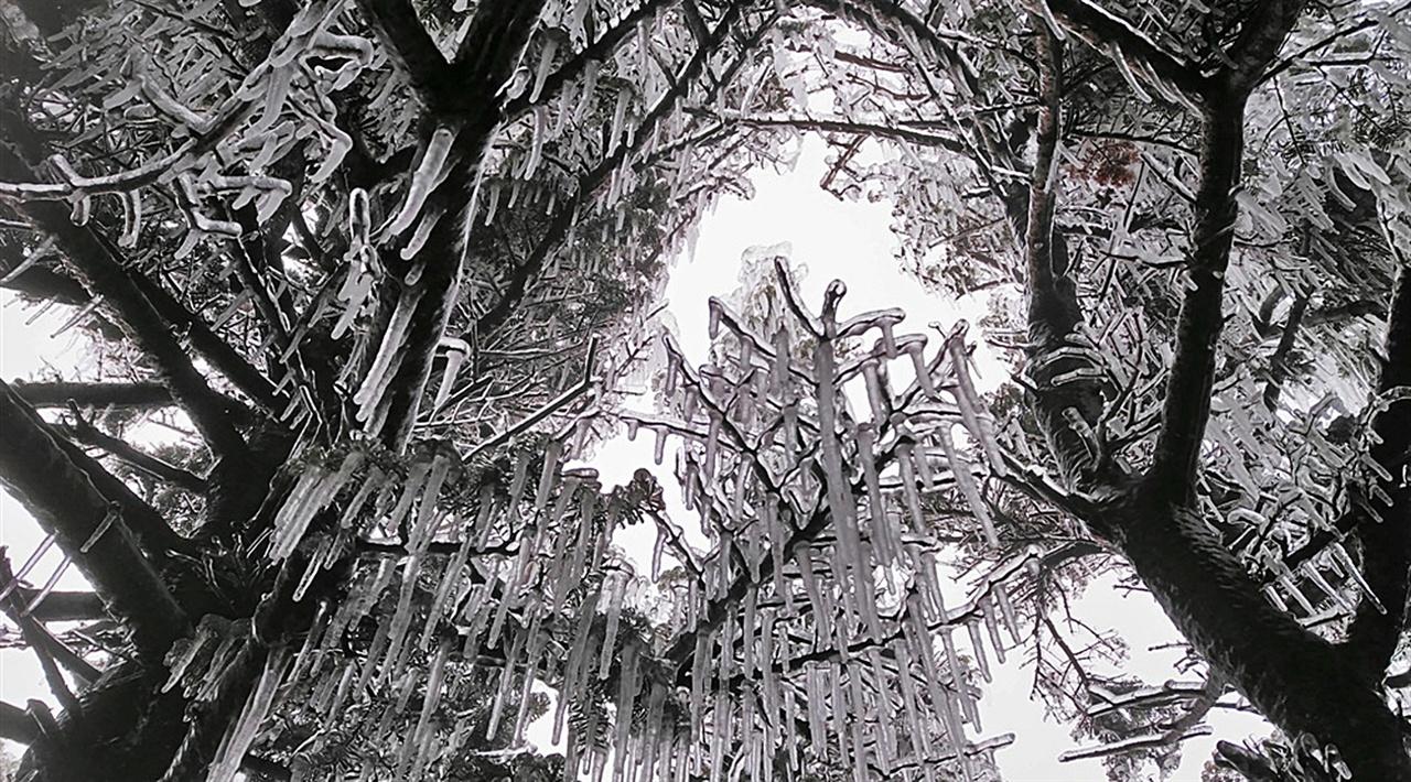 분비나무 설악산의 주봉인 대청봉일대의 비가 얼어붙은 현상은 4월 20일 무렵 연초록의 새순을 내밀 분비나무까지 꽁꽁 얼렸다. 이런 혹독함을 이겨내며 얼마나 오랜 세월을 이 자리에서 계절의 변화를 보여주었을지 알 수 없는 나무의 놀라운 생명력이 이 현상 앞에서 비로소 경이로움을 더욱 크게 느끼게 된다.