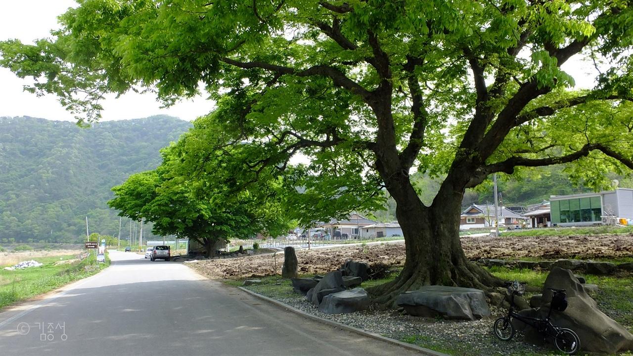 경탄을 자아내는 진메마을의 상징, 노거수 느티나무.