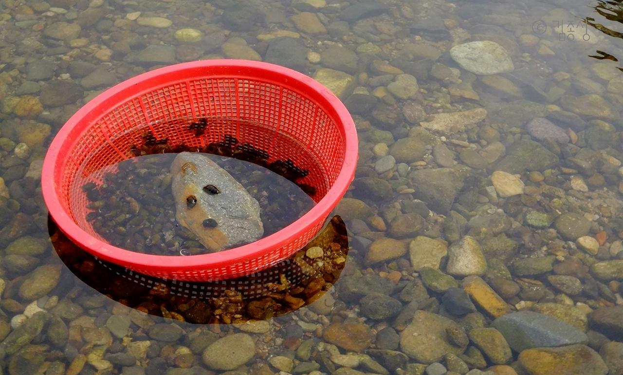 섬진강 상류에 많이 사는 다슬기.