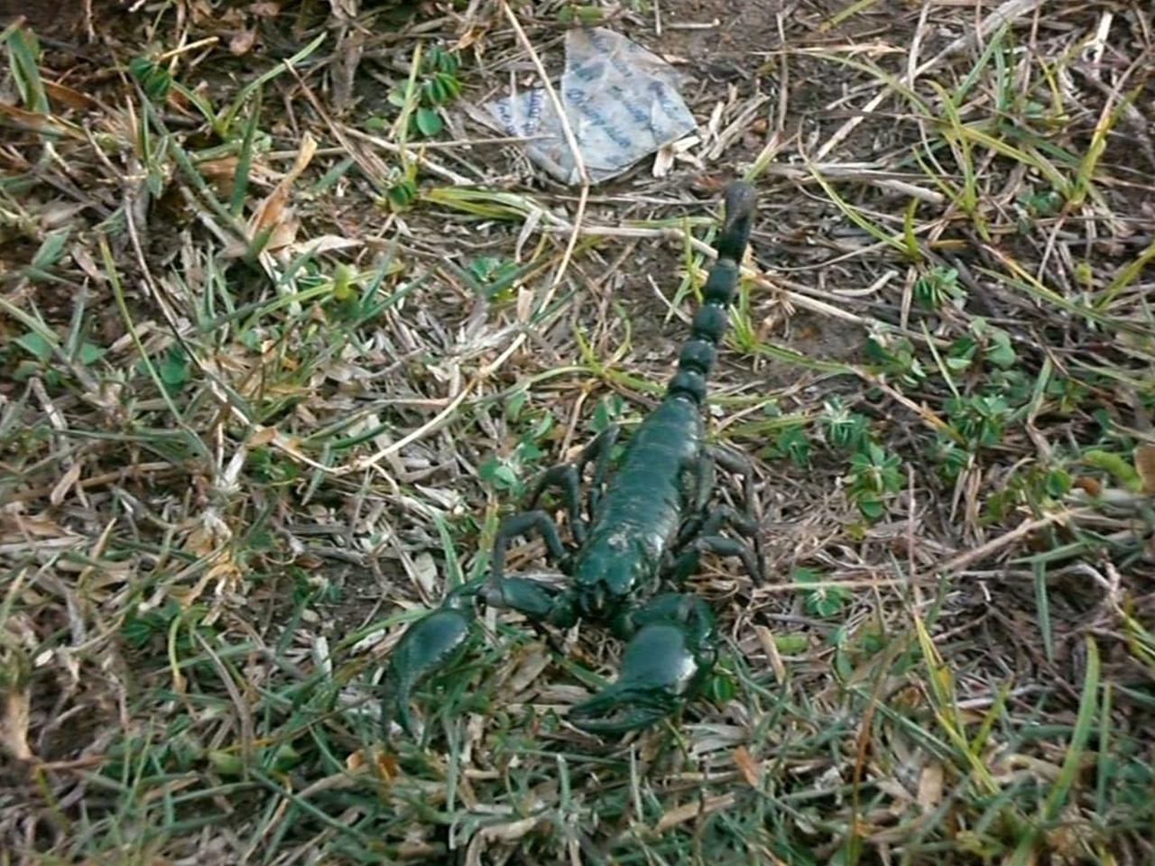 캄보디아 정글에는 녹색 전갈이 있다!