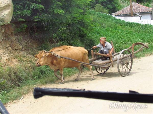 소달구지를 몰고 가는 북녘 동포.(2013년 8월 22일 함경북도 명천군).