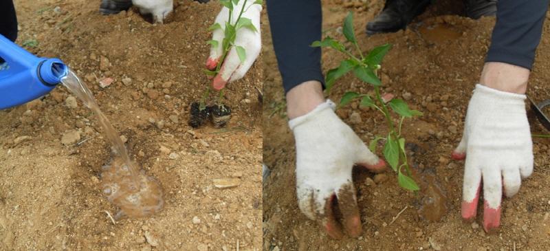 모종심기 물을 주고 모종을 심어야 뿌리활착이 잘된다