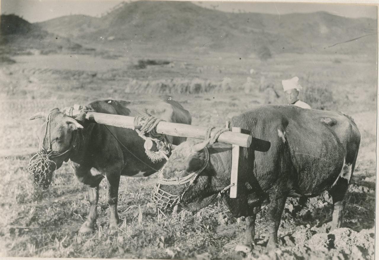 두 마리 소가 끄는 쟁기질.