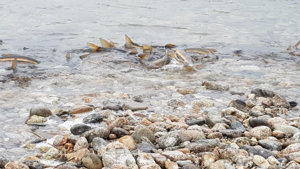산란중인 황어 물반 고기반의 양양 남대천