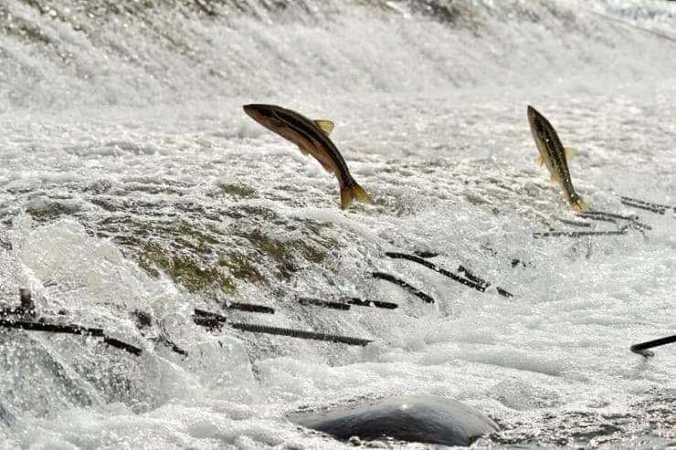 남대천을 오르는 황어 강물을 거슬러오르는 황어