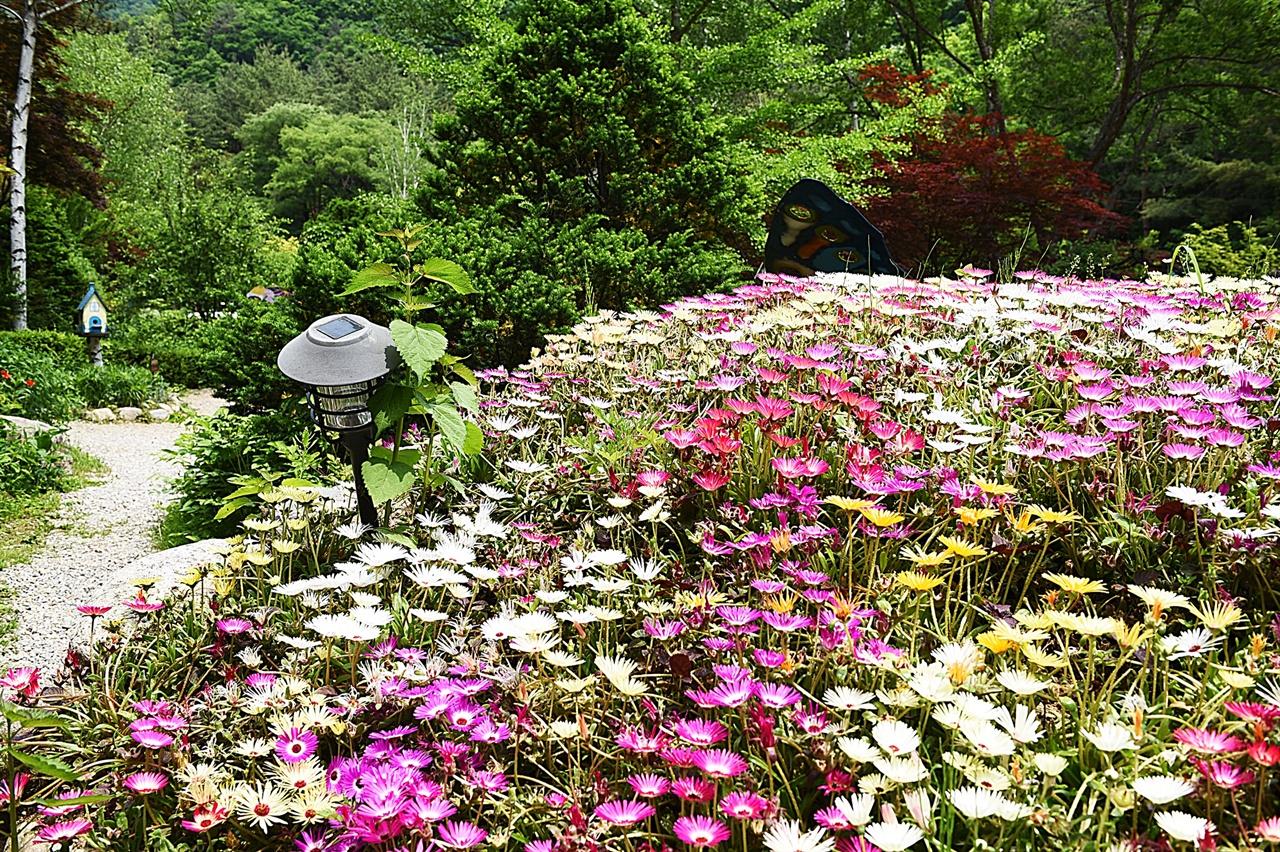 리빙스턴 데이지  5월의 허브농원 안에서 가장 인기 있는, 귀엽고 예쁜 꽃
