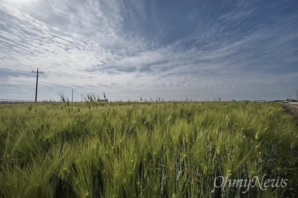 고창·청산도의 청보리가 유명하지만 그에 못지 않게 김제 또한 청보리 밭이 좋다. 비 온 뒤 흐린 하늘 밑의 푸른 보리밭, 나름 운치가 있다.