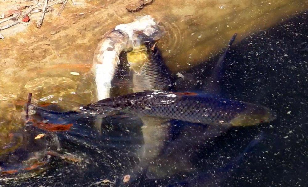 백제보 상류에서는 죽은 눈불개를 같은 어종이 뜯어 먹는 현장이 목격되었다.