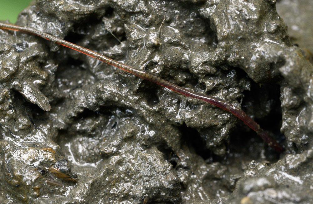 투명카약을 타고 들어간 충남 부여군 왕진교 부근 강바닥에서 퍼 올린 펄층에서 환경부 4급수 지표종인 실지렁이가 발견되었다.