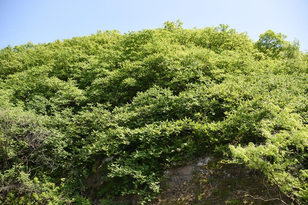 모감주나무군락지에 '초록'이 완연하다. 모감주나무군락지는 산림청의 희귀식물로 지정돼 있고, 대구시는 산림유전자원보호구역으로 지정해서 보호하고 있는 수종이다.