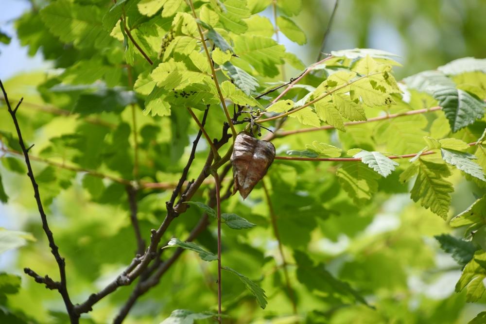 모감주나무의 연초록 잎이 자라 올라왔다. 지난해 열렸던 열매가 그대로 달려 있다. 이 열매는 염주의 재료로 쓰인다.