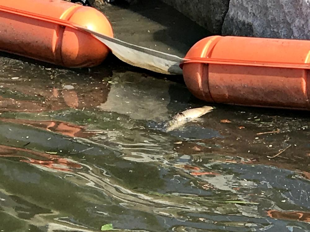 탐방로에서 바라본 강물은 썩어있었다. 악취가  올라왔고, 물고기까지 죽어 둥둥 떠다니고 있다.