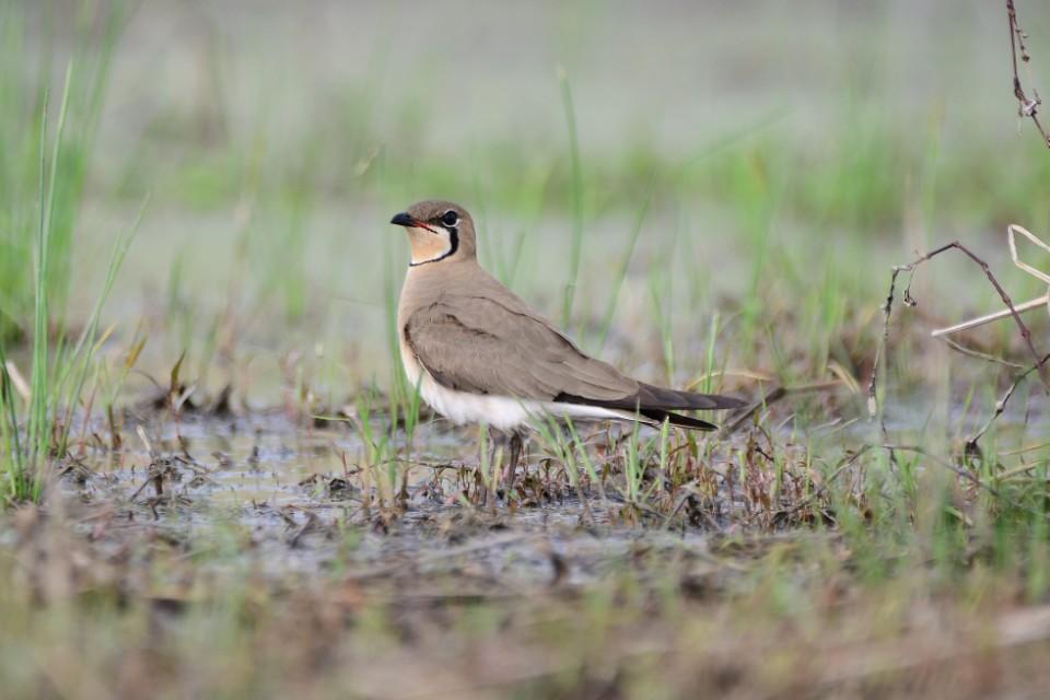 장남평야를 찾은 제비물떼새 .