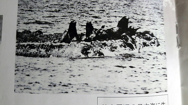 가제바위 위에 있는 강치들. 일본 오키섬 죽도박물관에 소장된 것을 김문길 교수가 수집해 제공했다. 김문길 교수 설명에 의하면 1910년경에 촬영한 사진으로 추정하고 있다