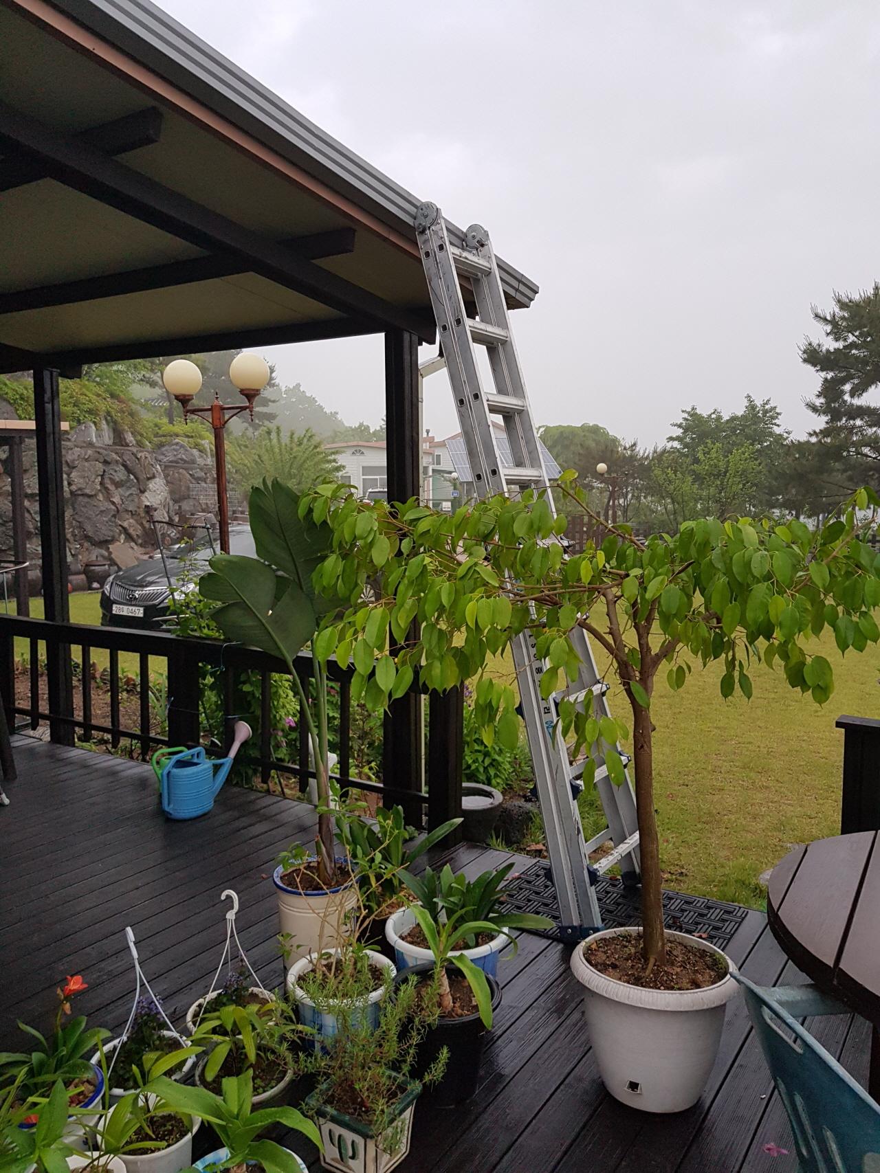 쏟아지는 폭우 속에서 지붕 홈통에 쌓인 낙엽을 거두어 냈다.