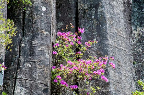 서석대 주상절리 틈새에 피어난 연홍빛 산철쭉꽃이 어찌나 아름답던지.