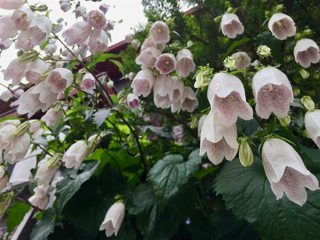 동네 산책길에 꽃이름은 모르겠으나 동네 산책길 담장 위의 화분에 핀 종 같이 생긴 꽃