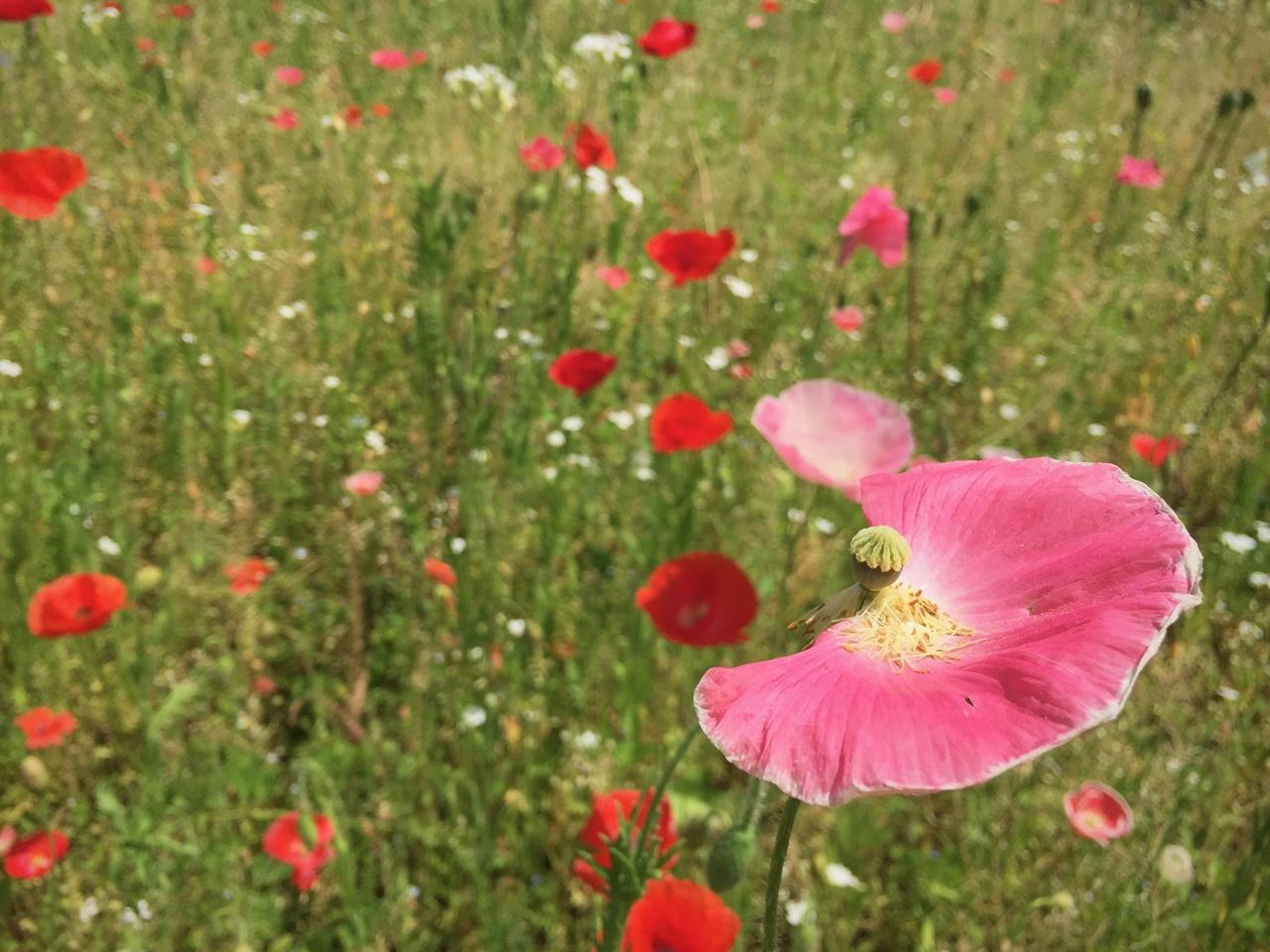 """양귀비밭 관상용 양귀비의 정확한 이름은 '개양귀비'라고도 하고 """"우미인초'라고도 부른다. (중국 4대 미인 중에 한사람이었던 우미인이 죽고 난 뒤 우미인의 무덤에 피어난 꽃이 바로 개양귀비이고 이 꽃의 이름을 따서 '우미인초'라고 부른다. 구글 검색)"""