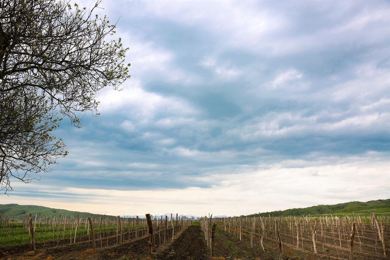 조지아 트빌리시에서 시그나기 가는길  조지아 최대 와인산지인 카헤티지역의 포도밭