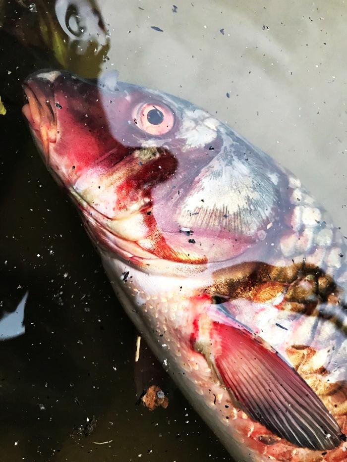 4대강사업으로 온몸에 피를 토하고 죽어가고 있는 낙동강의 잉어. 4대강사업의 진면목을 고스란히 보여주고 있다.