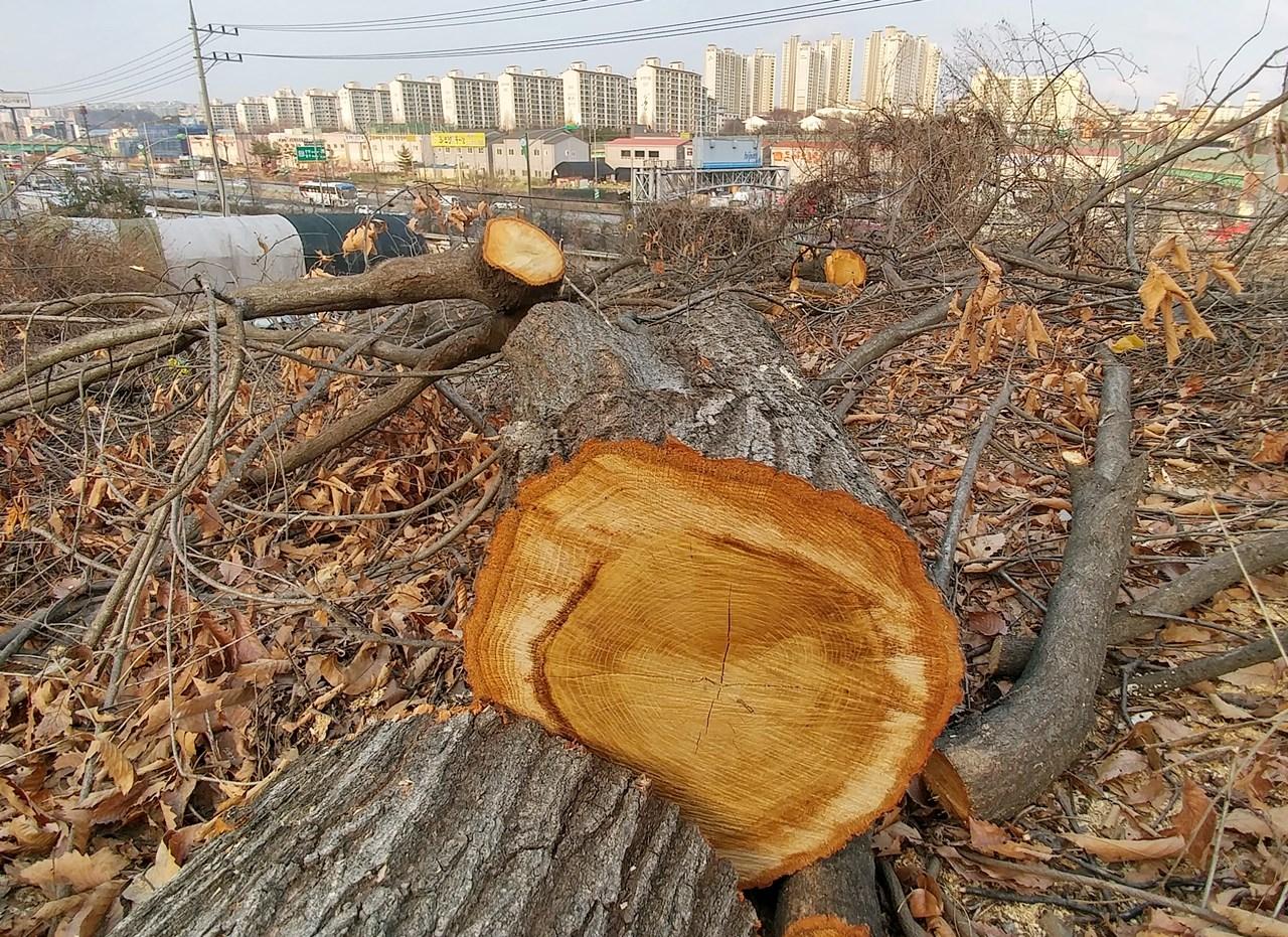 숲이 사라진 도시에 사람들이 살고 싶어할까? 숲이 사라진 도시에 희망이 있을까? 그럼에도 오늘도 용인시엔 처참히 잘려나가는 나무들의 절규로 가득하다.