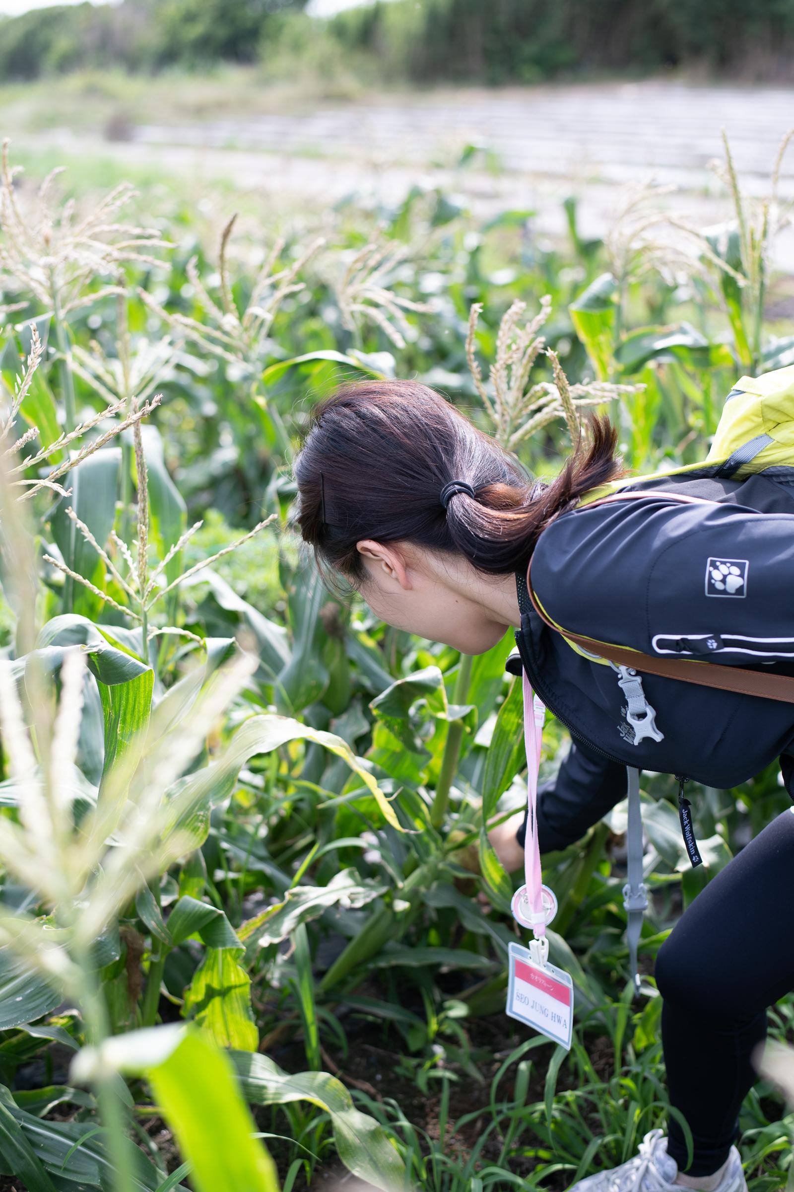 미나미보소의 옥수수는 수확하기 쉽도록 키가 작게 개량됐다.
