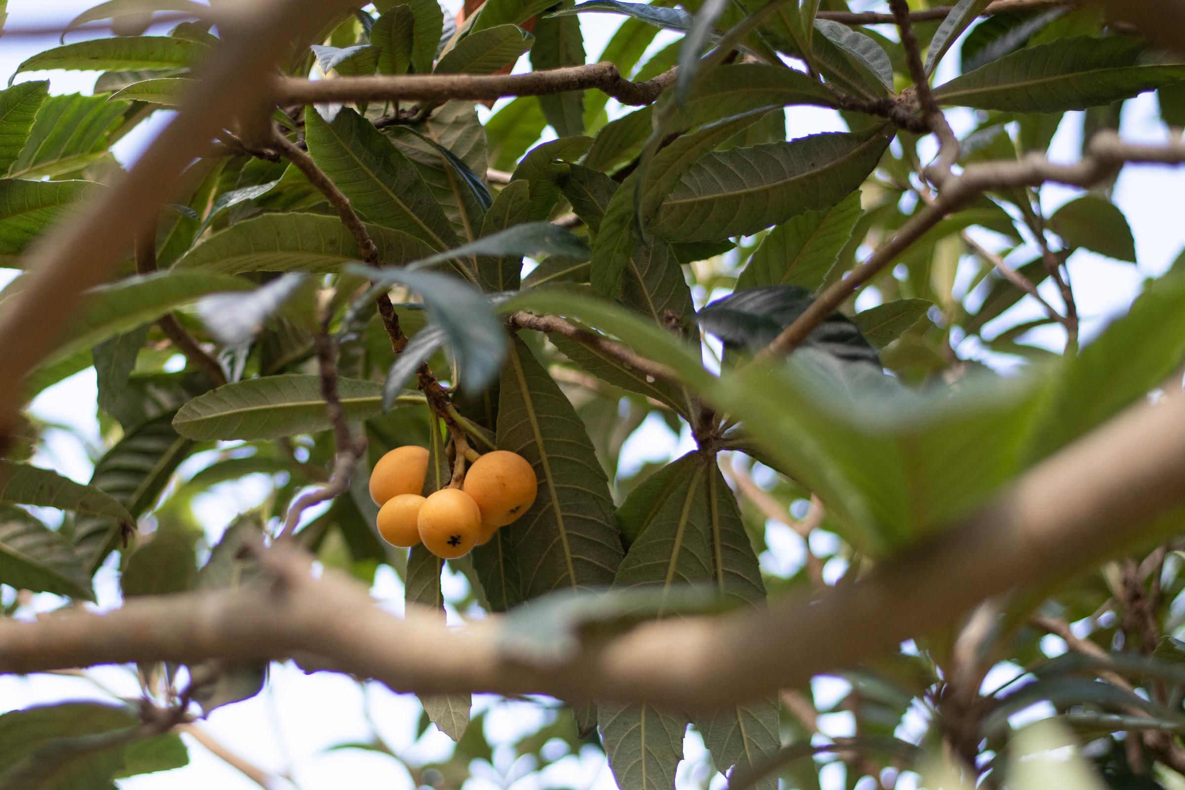 일본에서 처음 본 과일 '비와'. 치바는 일본 제2의 비와 생산지이다.