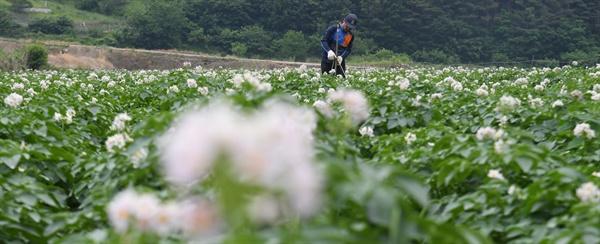 거창 가북면 우혜리의 감자꽃.