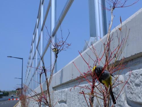 대전에서 방음벽에 부딧혀 죽어 있는 새의 모습 .