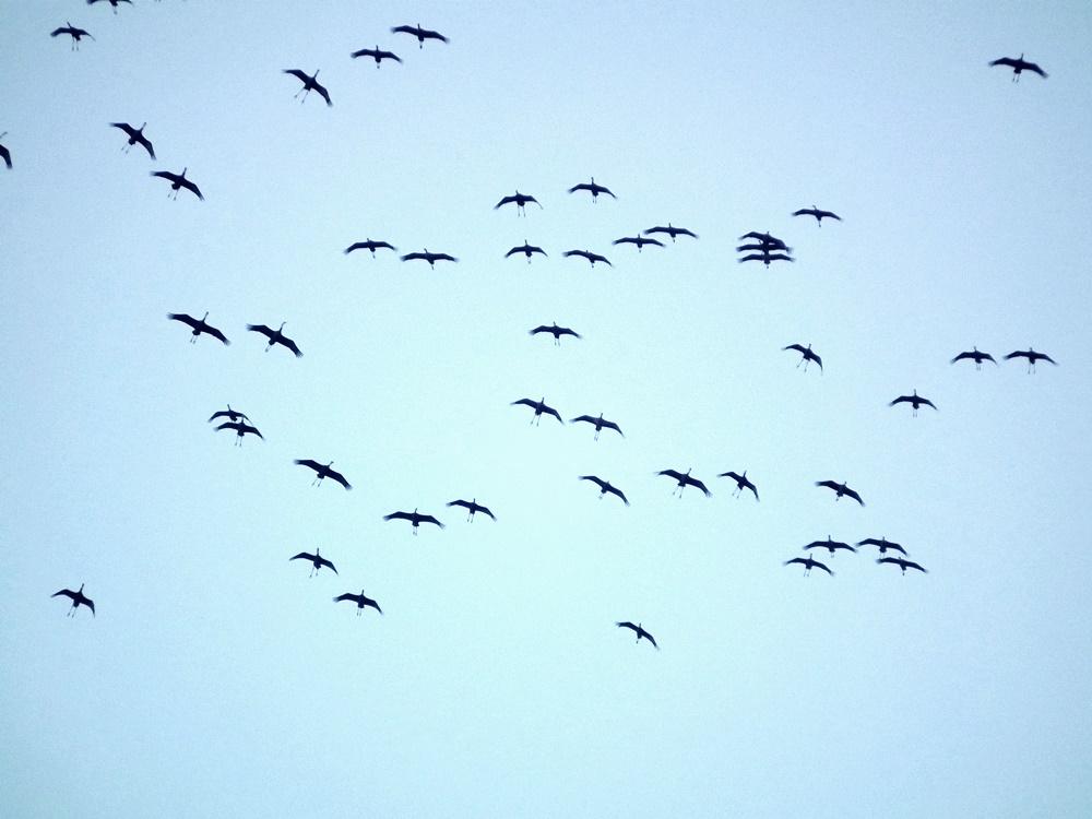 낙동강 해평습지를 찾은 멸종위기종이자 천연기념물인 흑두루미가 해평습지 위를 날고 있다. 4대강사업 전의 모습이다.