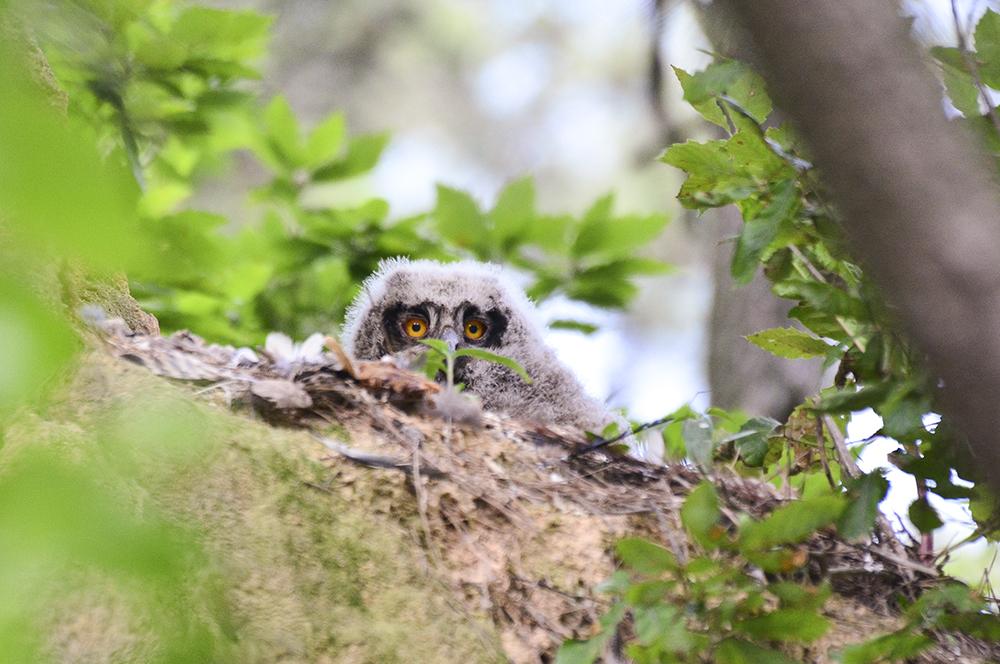 충남 서산 천수만에서 번식한 성공한 새끼 수리부엉이가 둥지에서 나와 주위를 살펴보면서 경계를 하고 있다.