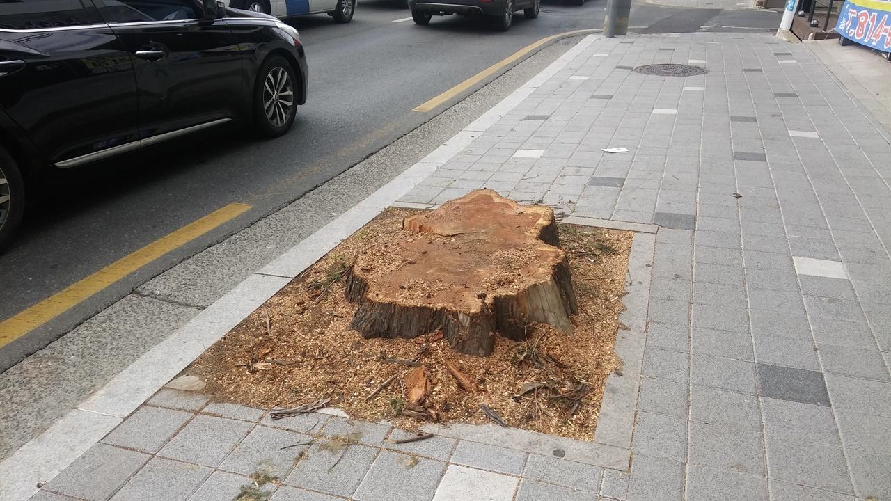 민둥째 잘려나간 경산시의 도심 가로수. 메타세콰이아 나무가 완전히 잘려버렸다